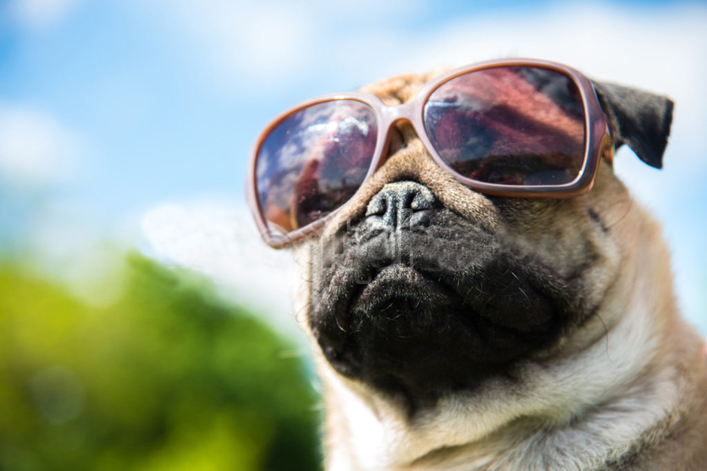 Muzzle dog in sunglasses